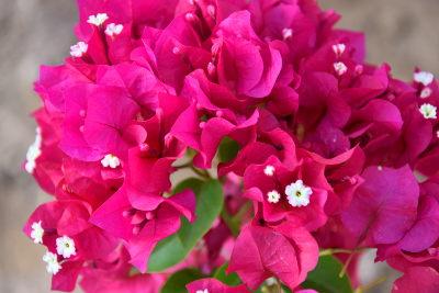roze bloemen in mijn tuin.