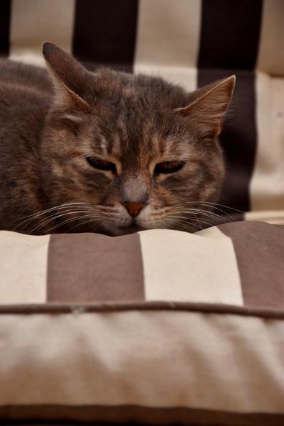 kat,op kussen, Finestrat, bruin wit