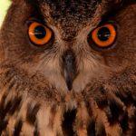 bruine en zwarte uil met oranje ogen in dierentuin Benidorm