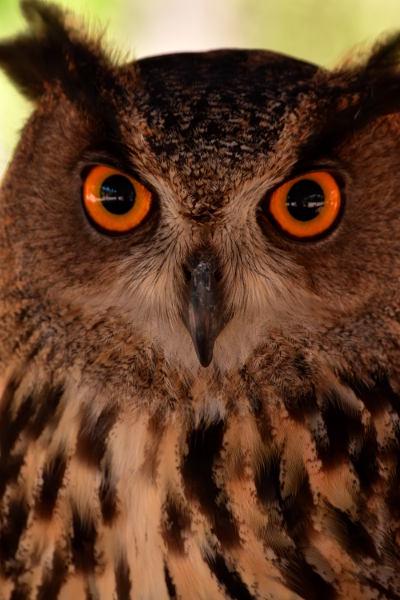 bruine en zwarte uil met oranje ogen in Terra Natura, Benidorm