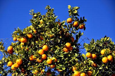 Sinaasappelen, blauwe lucht, Altea