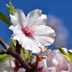 bloem, bloesem, amandel, februari
