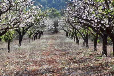 Alcalali, bomen, bloesem, amandel, februari