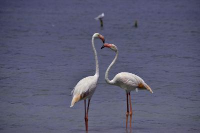 flamingo's, meer, water