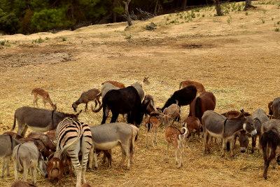 dieren, zebra, buffels, geiten, bokken