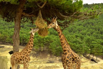 Safari Aitana, giraffes, boom