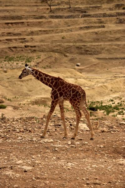 giraffe, jong, savanne